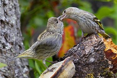 Pine Siskin (Carduelis pinus) parent feeding fledgling, western Montana