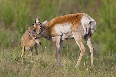 Pronghorn Antelope (Antilocapra americana) doe grooming newborn fawn, central Montana
