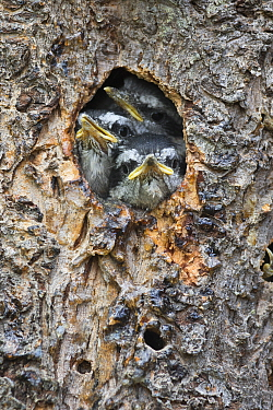 Red-breasted Nuthatch (Sitta canadensis) chicks in nest cavity, western Montana
