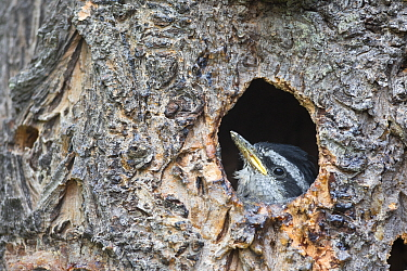 Red-breasted Nuthatch (Sitta canadensis) chick in nest cavity, western Montana