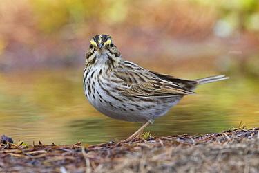 Savannah Sparrow (Passerculus sandwichensis) at pond, western Montana