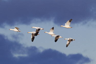 Snow Goose (Chen caerulescens) group flying, central Montana