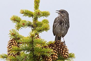 Song Sparrow (Melospiza melodia) calling, southern Alaska