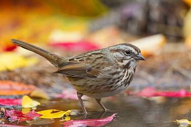 Song Sparrow (Melospiza melodia) at pond, western Montana