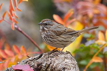 Song Sparrow (Melospiza melodia), western Montana
