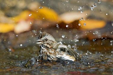 Song Sparrow (Melospiza melodia) bathing, western Montana