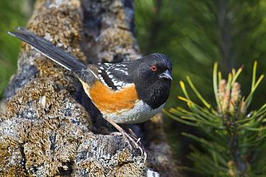 Spotted Towhee (Pipilo maculatus) male, western Montana