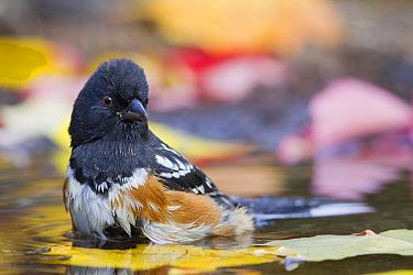 Spotted Towhee (Pipilo maculatus) male bathing, western Montana