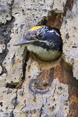 Three-toed Woodpecker (Picoides tridactylus) male in nest cavity, western Montana