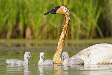 Trumpeter Swan (Cygnus buccinator) parent with cygnets, western Montana