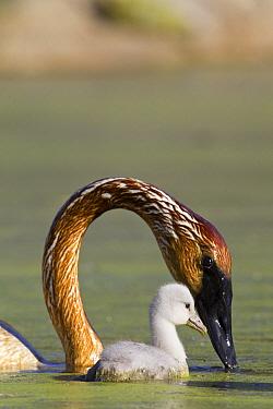 Trumpeter Swan (Cygnus buccinator) parent with cygnet, western Montana