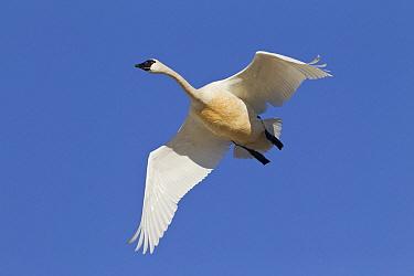 Tundra Swan (Cygnus columbianus) flying, central Montana