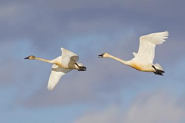 Tundra Swan (Cygnus columbianus) pair flying, central Montana