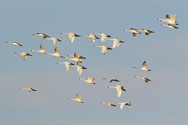 Tundra Swan (Cygnus columbianus) flock flying, central Montana