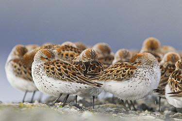 Western Sandpiper (Calidris mauri) flock resting, Cordova, Alaska