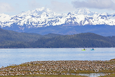 Western Sandpiper (Calidris mauri) flock with kayakers, Cordova, Alaska