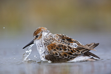 Western Sandpiper (Calidris mauri) bathing in small pool, southern Alaska