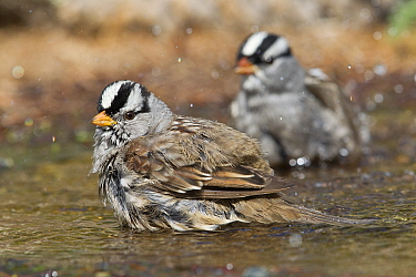 White-crowned Sparrow (Zonotrichia leucophrys) pair bathing, western Montana