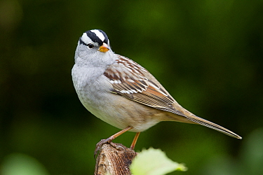White-crowned Sparrow (Zonotrichia leucophrys), western Montana