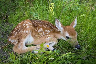 White-tailed Deer (Odocoileus virginianus) newborn fawn, western Montana
