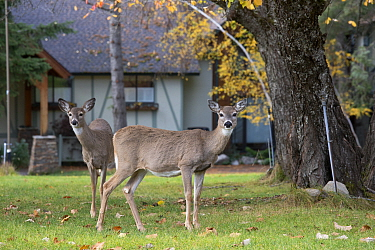 White-tailed Deer (Odocoileus virginianus) does in yard, central Montana