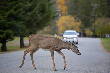 White-tailed Deer (Odocoileus virginianus) young buck crossing road, central Montana