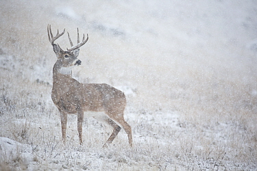 White-tailed Deer (Odocoileus virginianus) buck in heavy snowfall, central Montana