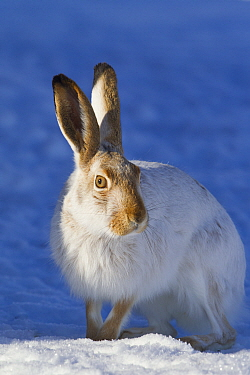 White-tailed Jack Rabbit (Lepus townsendii) in winter, central Montana