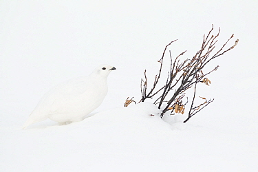 White-tailed Ptarmigan (Lagopus leucura) in winter, western Alberta, Canada