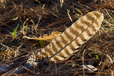Wild Turkey (Meleagris gallopavo) wing feather, western Montana