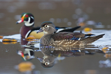Wood Duck (Aix sponsa) hen and drake, central Montana