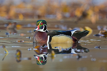 Wood Duck (Aix sponsa) drake, central Montana