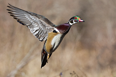 Wood Duck (Aix sponsa) drake flying, central Montana