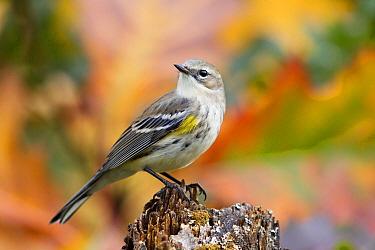 Yellow-rumped Warbler (Setophaga coronata) female, western Montana