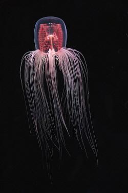 Jellyfish (Spirocodon saltator), Japan