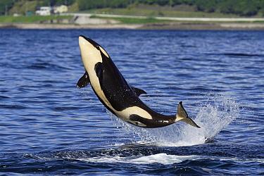 Orca (Orcinus orca) juvenile jumping, Hokkaido, Japan