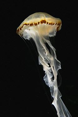 Purple-striped Jellyfish (Chrysaora colorata), Japan