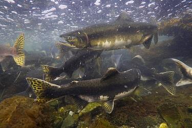 Pink Salmon (Oncorhynchus gorbuscha) group spawning, Prince William Sound, Alaska