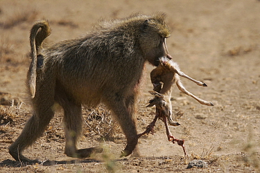 Yellow Baboon (Papio cynocephalus) carrying Kirk's Dik-dik (Madoqua kirkii) prey, Amboseli National Park, Kenya