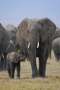 African Elephant (Loxodonta africana) mother and calf, Amboseli National Park, Kenya