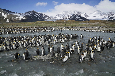King Penguin (Aptenodytes patagonicus) colony, South Georgia Island