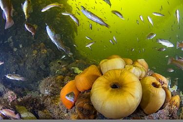 Cunner (Tautogolabrus adspersus) school near sea anemones, Gros Morne National Park, Newfloundland, Canada