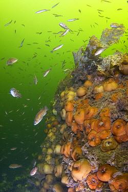 Cunner (Tautogolabrus adspersus) school and sea anemones, Gros Morne National Park, Newfloundland, Canada