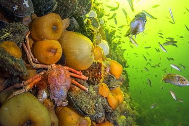 Arctic Lyre Crab (Hyas coarctatus) among sea anemones and Cunner (Tautogolabrus adspersus) school, Bonne Bay, Newfoundland, Canada
