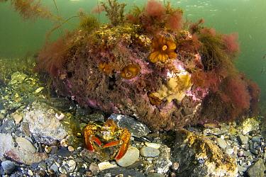 American Lobster (Homarus americanus) in reef, Bonne Bay, Newfoundland, Canada