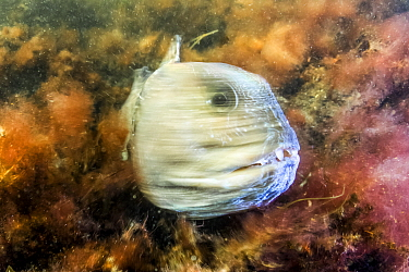 Atlantic Wolffish (Anarhichas lupus), Gros Morne National Park, Newfloundland, Canada