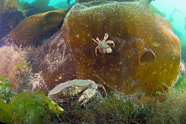 Atlantic Rock Crab (Cancer irroratus) and Acadian Hermit Crab (Pagurus acadianus) on kelp, Bay of Fundy, Maine