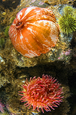 Northern Red Sea Anemone (Tealia felina) pair, opened and closed, Passamaquoddy Bay, Maine