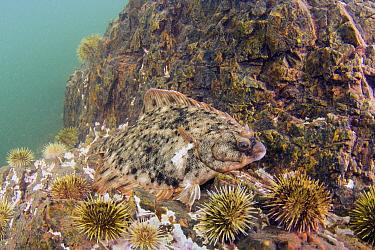 Winter Flounder (Pleuronectes americanus) camouflaged among Green Sea Urchins (Strongylocentrotus droebachiensis) barren, Passamaquoddy Bay, Maine