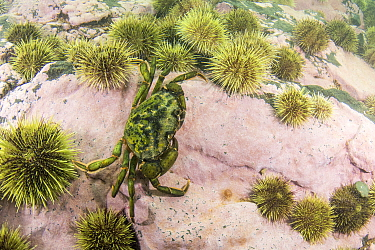 Common Shore Crab (Carcinus maenas) camouflaged amongst Green Sea Urchins (Strongylocentrotus droebachiensis) barren, Passamaquoddy Bay, Maine
